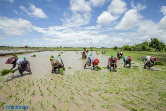 Backbreaking rice planting in Myanmar - by Hong Sar for Mizzima